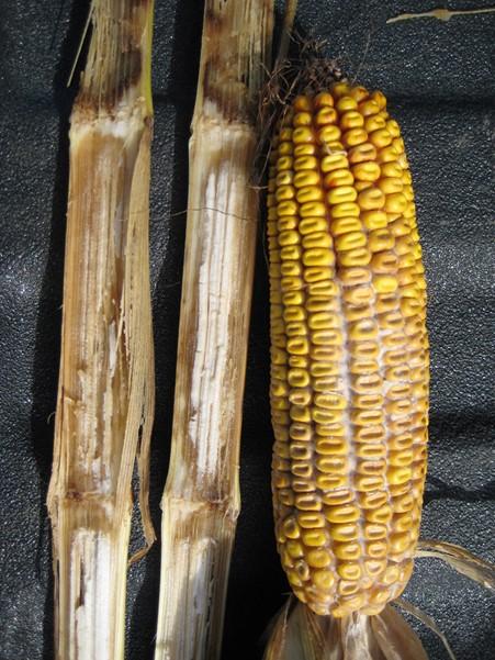 Continuous-Corn-Image_Figure-4_451x601.jpg