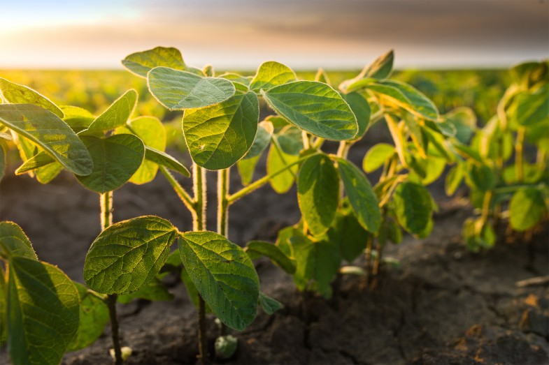 Soybean image