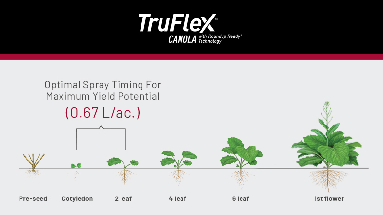 TruFlex Canola with Roundup Ready Technology - Line chart depicting the root system of the plant ane when to Optimally spray for Maximum Yield.  0.67 L/ac between Cotyledon and 2 Leaf States.