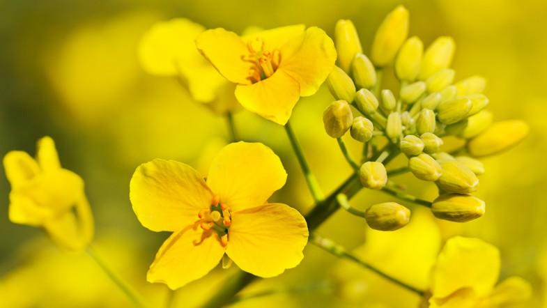 Closeup of Canola flower