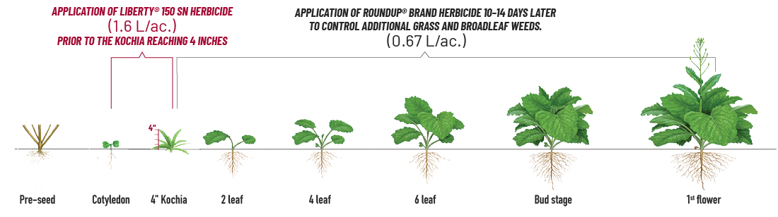 Diagram showing herbicide application at various stages of canola growth for glyphosate-resistant kochia control.