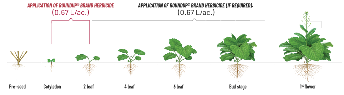 Diagram showing herbicide application at various stages of canola growth for cleaver control.