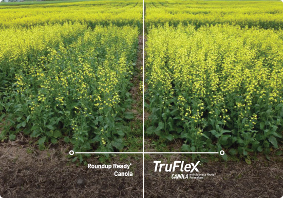 TruFlex Canola trail comparison