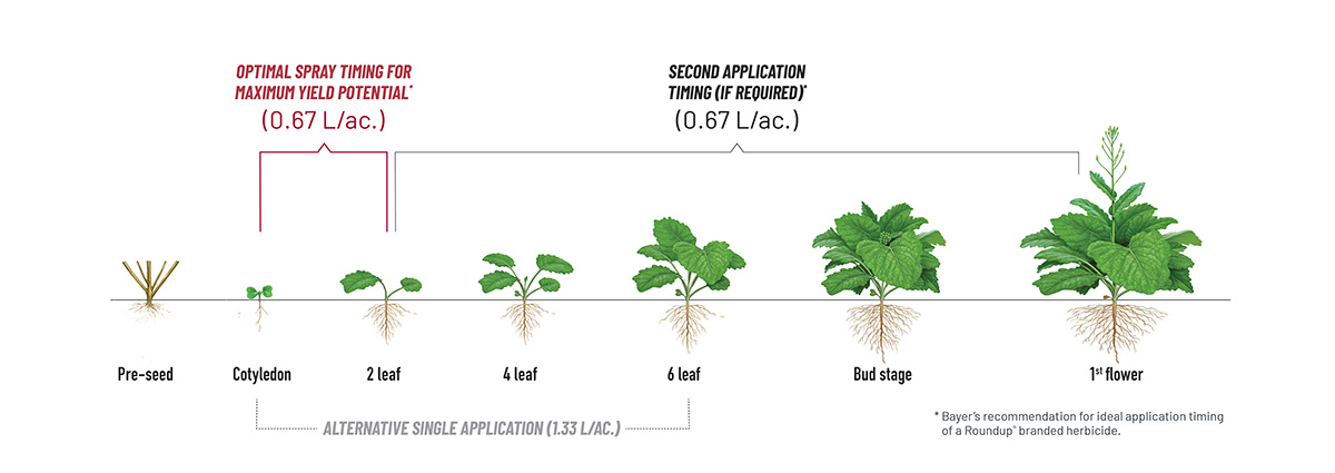 Illustration showing product application window to achieve optimal results. Cotyledon and 2-leaf stages is the optimal spray timing for maximum yield potential at 0.67 L/ac. If required, a second spraying of 0.67 L/ac. can be applied at 2-leaf through to 1st flower stages. An alternative single spraying at 1.33 L/ac. can be applied at stages from cotyledon through to 6-leaf.