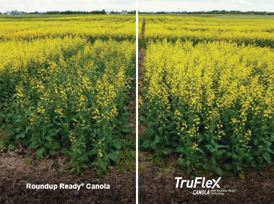 Example field trials image comparing the results of TrueFlex Canola (right, healthier crop) with Roudnup Ready Canola (left).