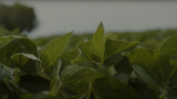 Roundup Ready® Xtend Crop System West Overview | The Soybean System You Can't Resist