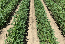 Roundup Xtend herbicide with VaporGrip Technology (2 L/ac.) and Fierce® herbicide (96 g/ac.) were applied at planting. Liberty® 200 SN herbicide (1 L/ac.) was applied in-crop.