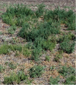 Example image of Enlist Duo™ at 1.72 L/ac. used resulting in more weeds.