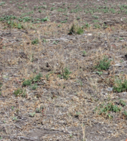 Example image of Roundup Xtend® herbicide with VaporGrip® Technology at 2 L/ac used resulting in fewer weeds.