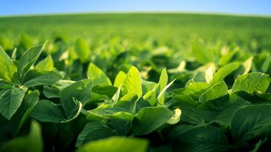 Closeup of soybean plant
