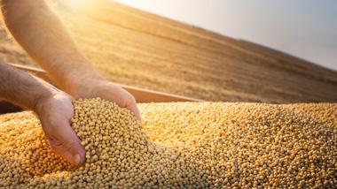 Farmer hands full of soybean up close