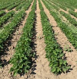 Roundup Xtend herbicide with VaporGrip Technology at 2 L/ac. applied PRE