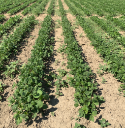 Enlist Duo herbicide at 1.74 L/ac. applied PRE